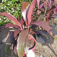 NURSERY CORDYLINE FRUTICOSA