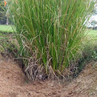 monto vetiver. Click for more information...