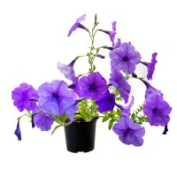 Scentsation petunia. Click for more information...